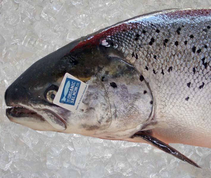 Salmon-Organic-1